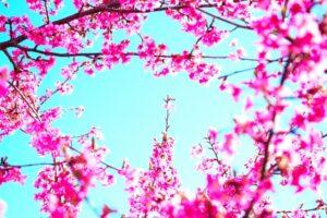 青空と満開の河津桜