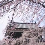 上田城千本桜まつり 開花状況