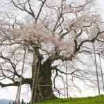 岡山醍醐桜2018の見頃と開花状況。ライトアップや駐車場は?