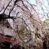 角館桜まつり 見頃