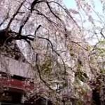 角館桜まつり2018の開花状況とお花見の見頃。駐車場や屋台は?