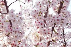 桜まつり 春