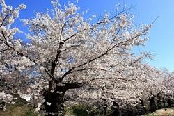 青空と満開の桜並木