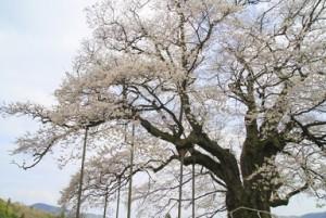 岡山 醍醐桜