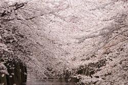 お花見 東京