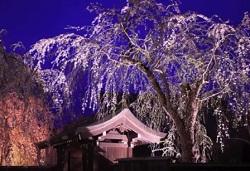 角館桜まつり ライトアップ