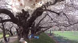 東京大学駒場キャンパス 桜並木