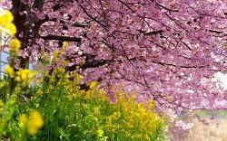 春 桜 菜の花