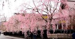 角館桜まつり 歴史