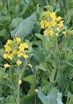 菜の花 緑黄色野菜
