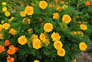 黄色の金盞花