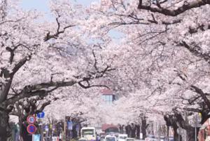 日立桜まつり 平和通り 桜並木