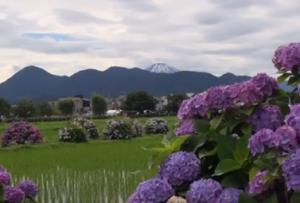 開成町 あじさい 富士山