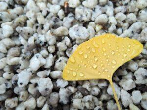 雨露がついたイチョウ