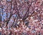 静内二十間道路桜並木 開花 見頃