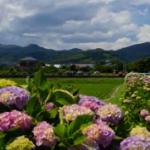 開成町あじさい祭り2019の見頃と開花状況!イベントや見どころは?