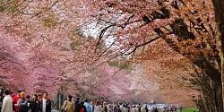 静内二十間道路桜並木 時期
