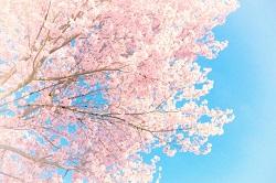 桜 見どころ
