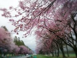 静内二十間道路桜並木 名称