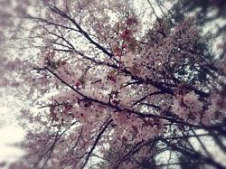 静内二十間道路桜並木 アクセス
