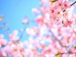 桜色 伝統