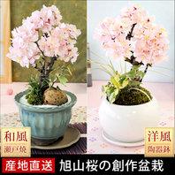 観賞用植物 桜の木
