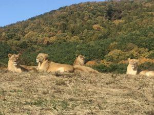 ライオン サファリパーク