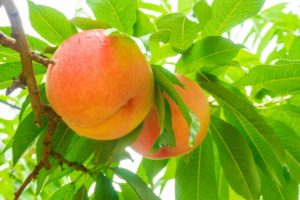 桃狩り 桃