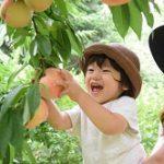 桃狩り 福島
