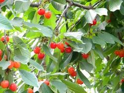 さくらんぼの木 さくらんぼの実