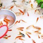 金魚すくいの金魚の飼い方!種類や寿命は?長生きする育て方は?