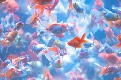 金魚 種類