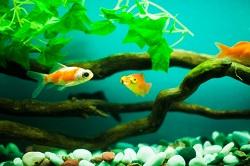 金魚 環境