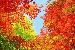 紅葉 時期