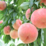 大きく実った桃