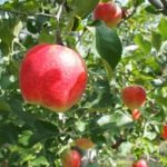 長野県りんご狩り人気おすすめランキング2018!時期や料金は?