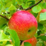群馬県りんご狩り人気おすすめランキング2018!時期や料金は?