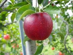 りんご狩り 長野県