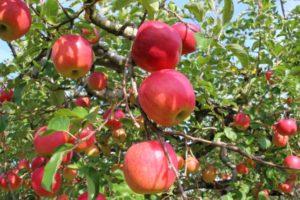 りんご狩り りんご