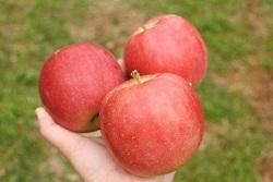 りんご狩り おすすめスポット