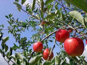 りんご 青空