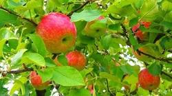 りんご狩り 穴場スポット