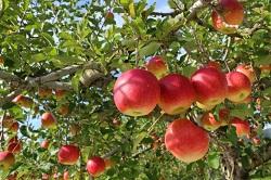 りんご狩り 人気