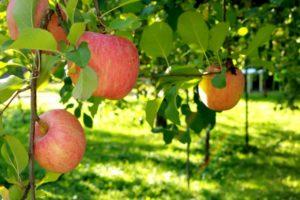 りんご園 りんご