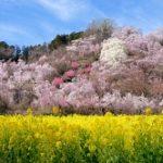 花見山公園の桜2019の見頃と開花状況!種類は?駐車場やアクセスは?