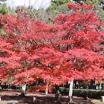 京都御苑の紅葉2019!見頃の時期や場所は?ライトアップは?