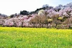 花見山公園 桜 種類