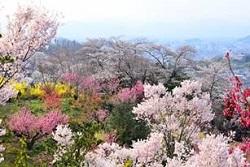 花見山公園 桜 見どころ