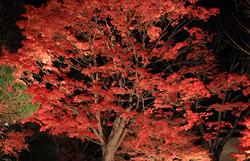真っ赤な紅葉 ライトアップ