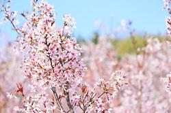 花見山公園 桜 アクセス